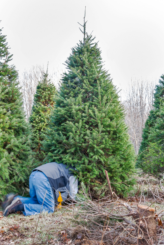 Chop Down Your Own Tree This Year Paul Bunyan Healthy Headlines